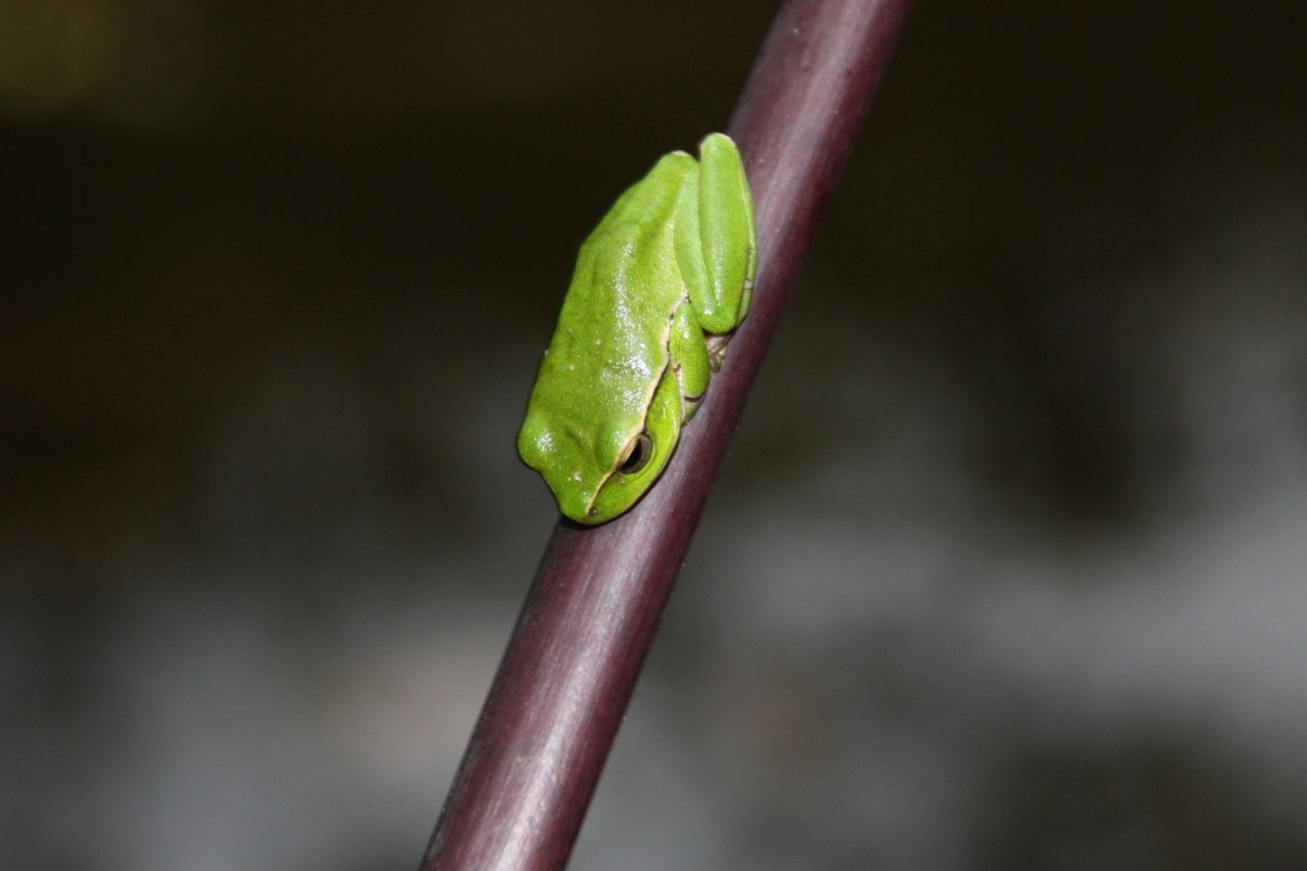 how to tell the sex of a green tree frog